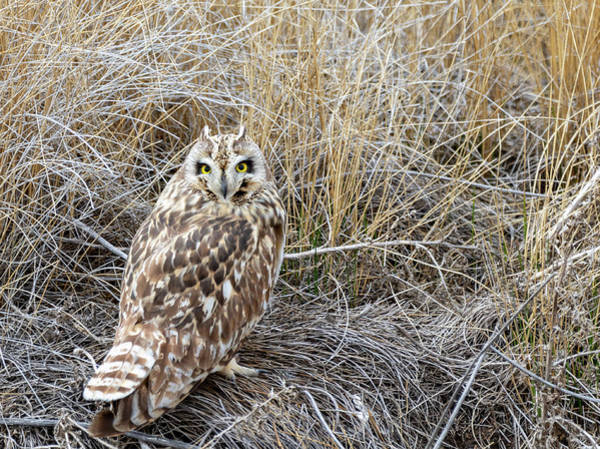 Photograph - Short Eared Owl by Michael Chatt