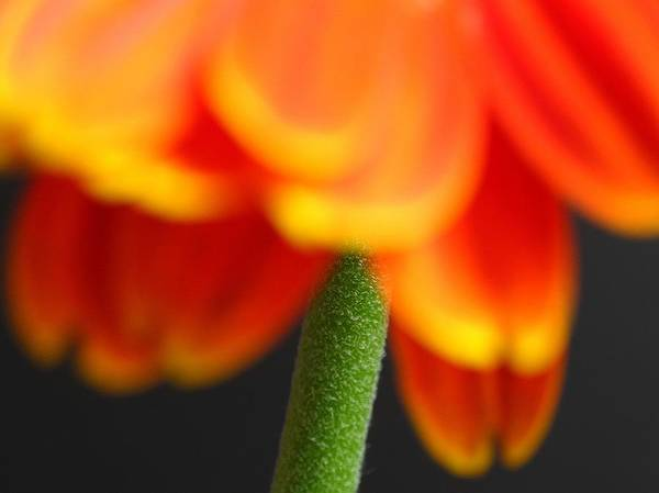 Photograph - Short Stem Beauty  by Juergen Roth