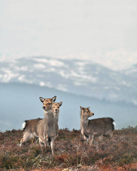 Photograph - Sika Deer by Gavin Macrae