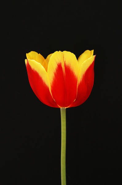 Wall Art - Photograph - Single Red And Yellow Tulip On Black by Allen Beatty