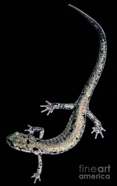 Wall Art - Photograph - Slimy Salamander by Dant� Fenolio