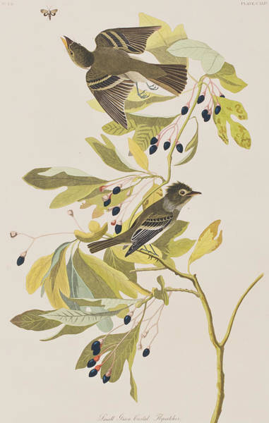 Flycatcher Painting - Small Green Crested Flycatcher by John James Audubon