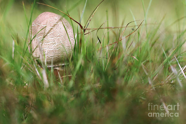 Wall Art - Photograph - Small Parasol Mushroom In The Grass by Michal Boubin