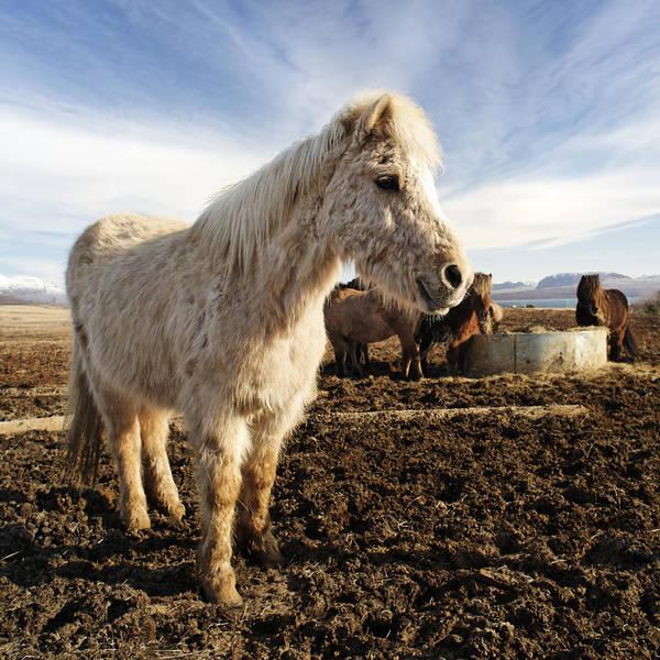 Smiling Icelandic Horse Art Print