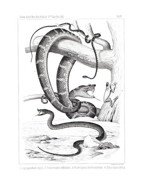 Art Print featuring the drawing Snakes And Frogs Of Costa Rica by T Sinclair