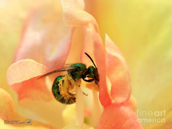 Wall Art - Photograph - Snapdragon Named Twinny Peach by J McCombie