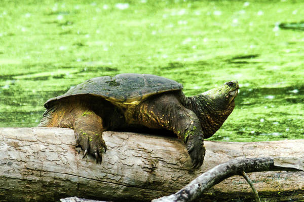 Photograph - Snapping Turtle by Edward Peterson
