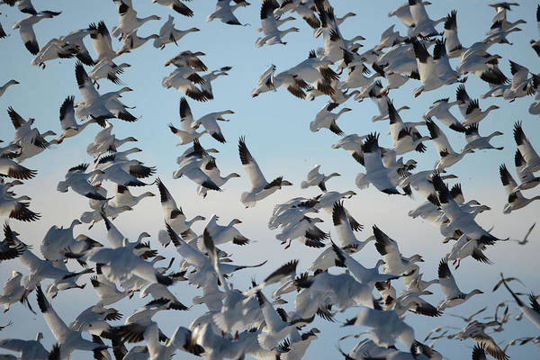 Wall Art - Photograph - Snow Geese Migration by Whispering Peaks Photography