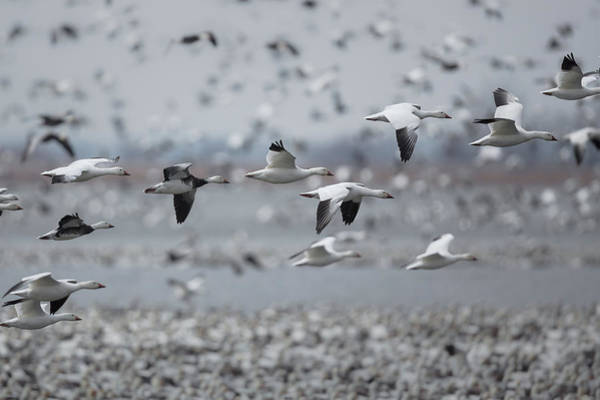 Photograph - Snow In Flight by Ryan Heffron