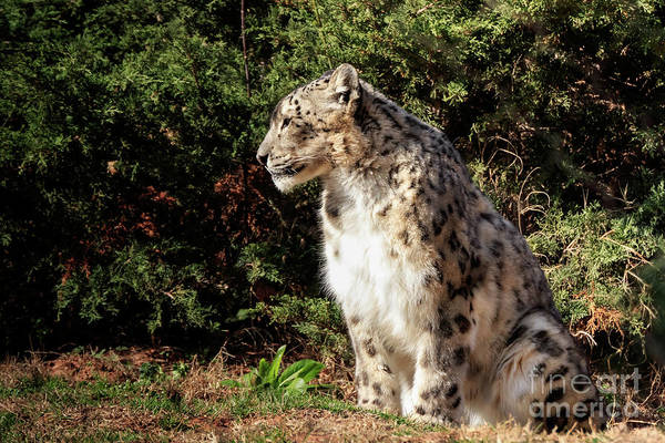 Photograph - Snow Leopard In The Sun #1 by Richard Smith