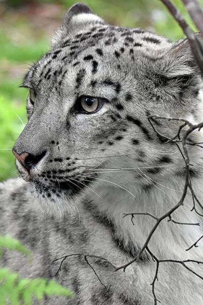 Photograph - Snow Leopard by Kuni Photography
