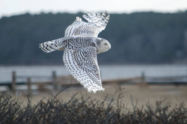Photograph - Snow Owl by Steve Myrick
