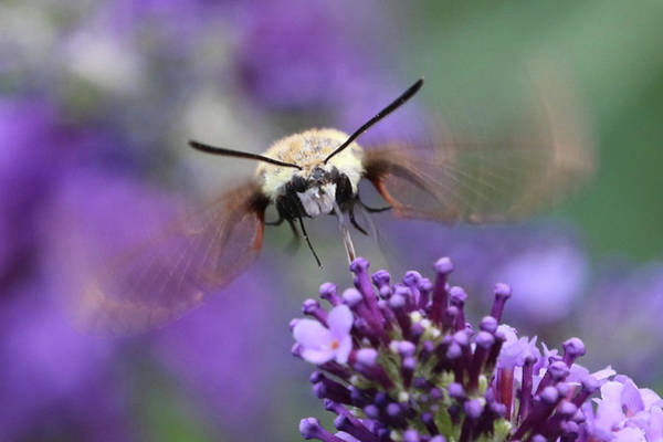 Hemaris Photograph - Snowberry Clearwing Moth by Doris Potter