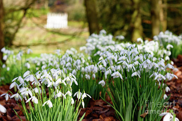 Photograph - Snowdrops by Colin Rayner