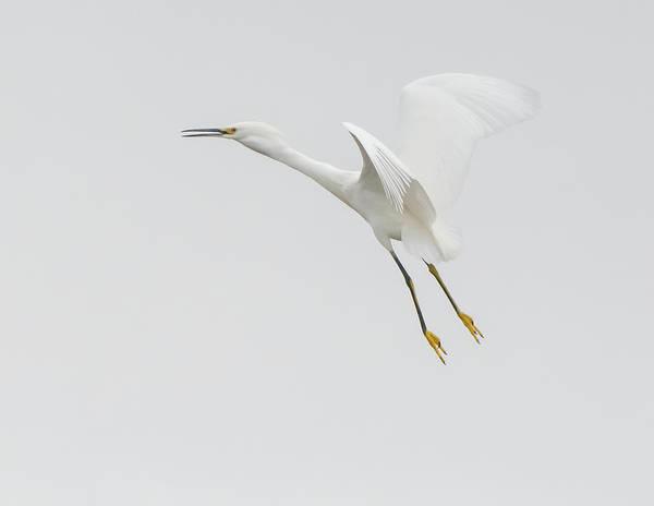 Photograph - $250 - 16x20 Canvas - Snowy Egret Flight   by Tam Ryan