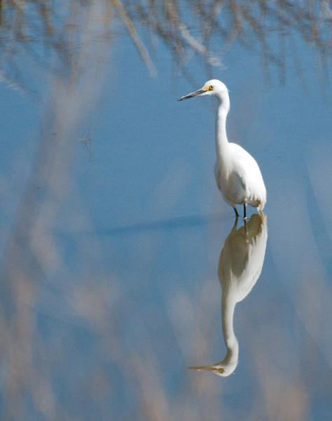 Photograph - Snowy Egret by David Waldrop