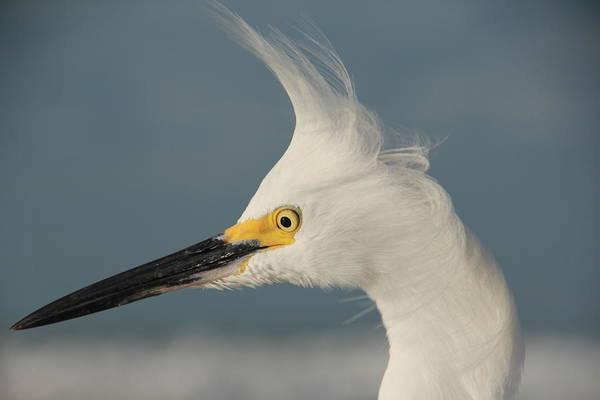 Photograph - Snowy Egret by Sean Allen
