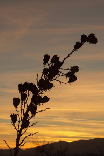 Photograph - Soaptree Yucca Silhouette by Liza Eckardt