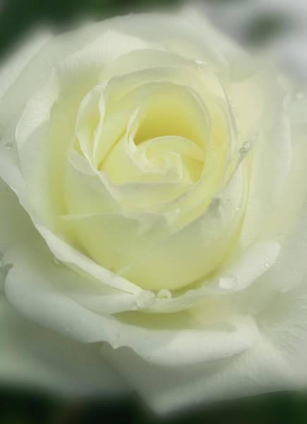Photograph - Soft Rose by Brian Roscorla