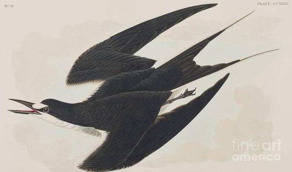 Wall Art - Painting - Sooty Tern by John James Audubon