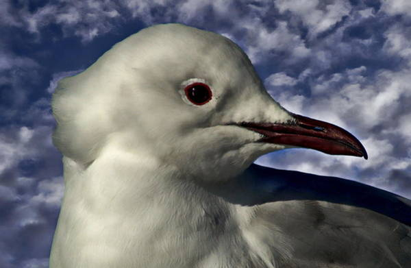 Photograph - South African Sea Gull by Anthony Dezenzio
