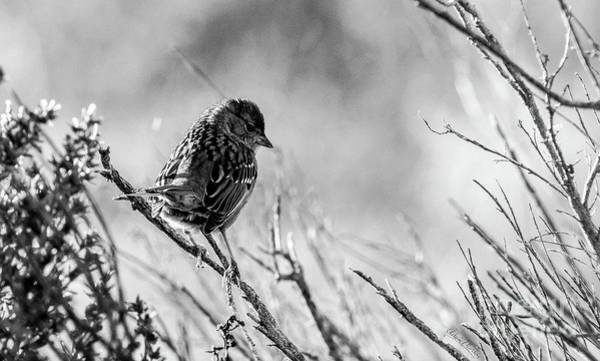 Snarky Sparrow, Black And White Art Print