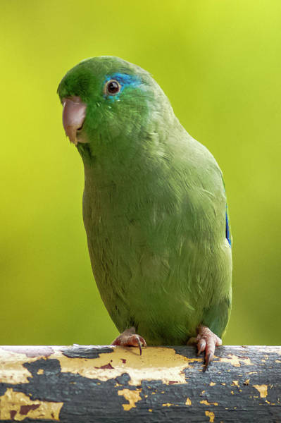 Photograph - Spectacled Parrotlet Panaca Quimbaya Colombia by Adam Rainoff