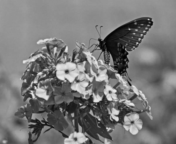 Photograph - Spicebush Swallowtail by Sandy Keeton