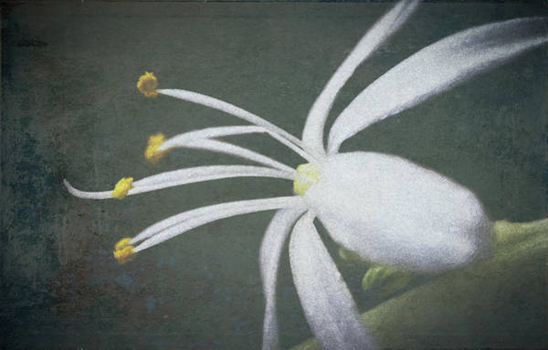 Spider Plant Flower II Art Print
