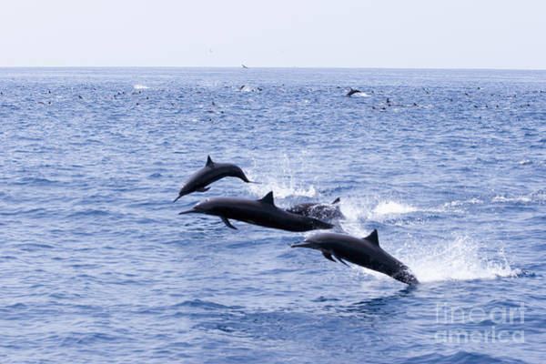 Quetzals Photograph - Spinner Dolphins by Rick Gaffney - Printscapes