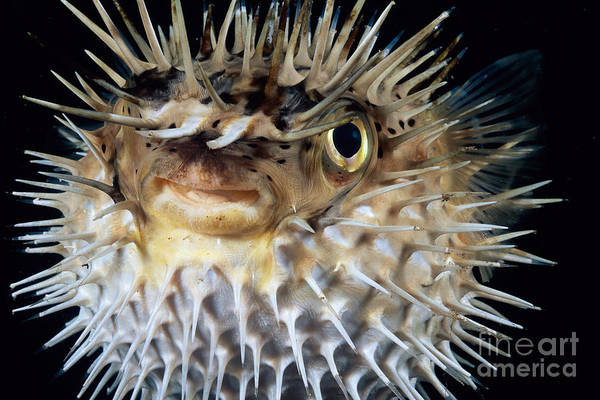 Diodon Photograph - Spiny Puffer by Dave Fleetham - Printscapes