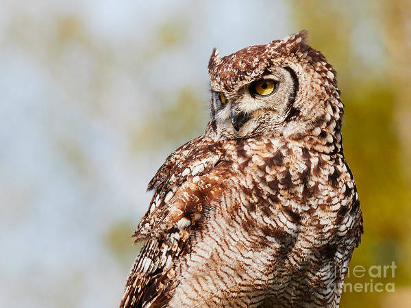 Photograph - Spotted Eagle-owl In A Tree by Nick  Biemans