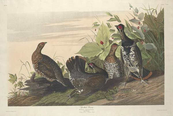 Wall Art - Drawing - Spotted Grouse by Dreyer Wildlife Print Collections