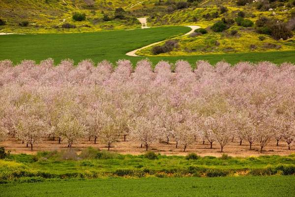 Photograph - Spring Blossom by Uri Baruch