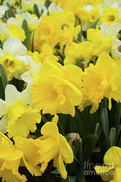 Dafodil Photograph - Spring Daffodils by Anastasy Yarmolovich