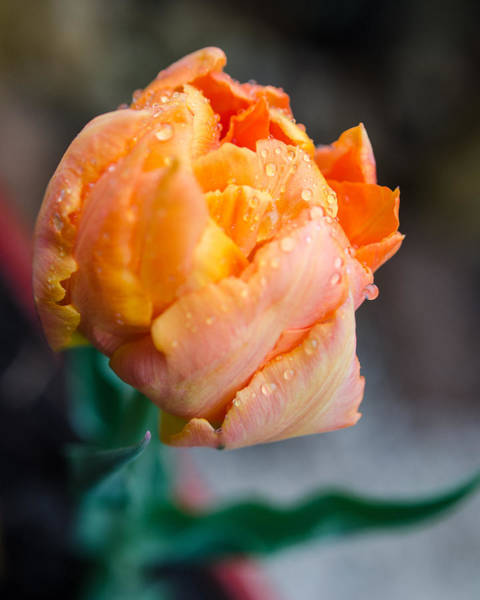 Photograph - Spring Rains On Flowers by Miguel Winterpacht