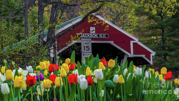 Photograph - Spring Tulips In New Hampshire by New England Photography