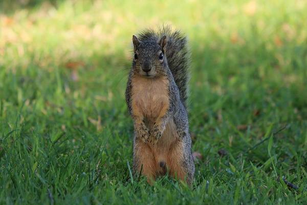 Photograph - Squirrel Standing In Grass by Christy Pooschke