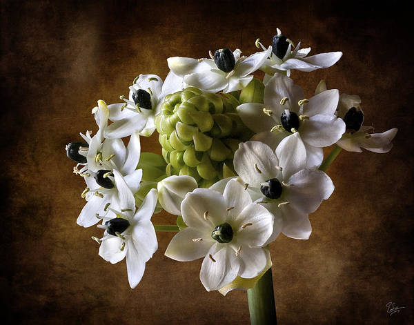 Photograph - Star Of Bethlehem by Endre Balogh
