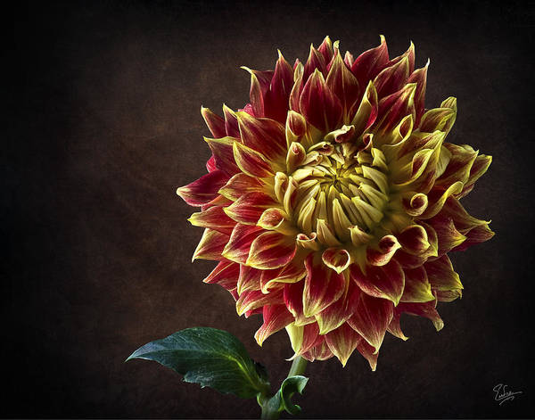 Photograph - Starburst Dahlia by Endre Balogh