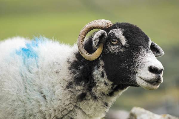 Ovine Photograph - Staring Sheep by David Taylor