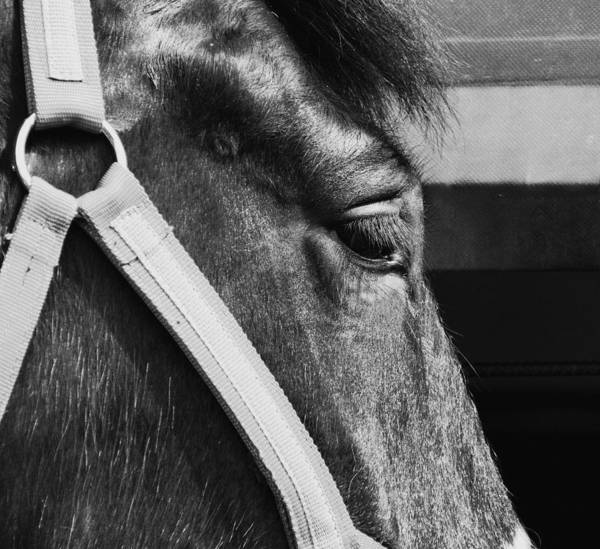 Steed Photograph - Steed by Angela Aird