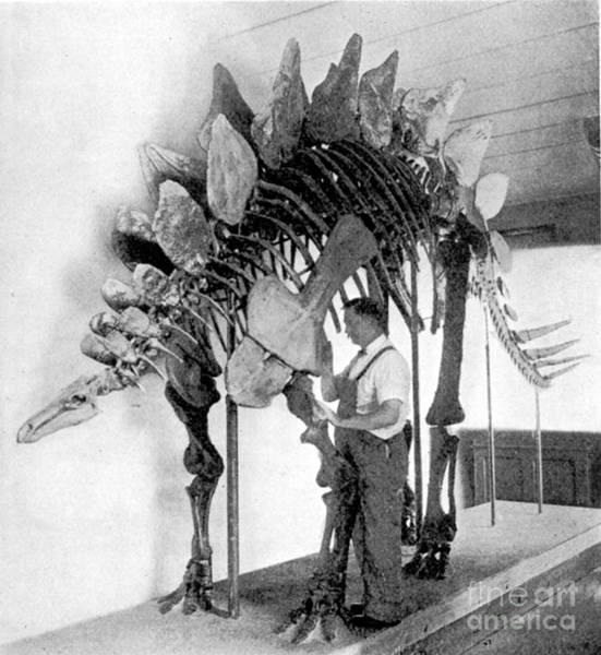Photograph - Stegosaurus by Science Source