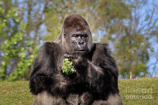 Photograph - Stern Silverback by Richard Smith