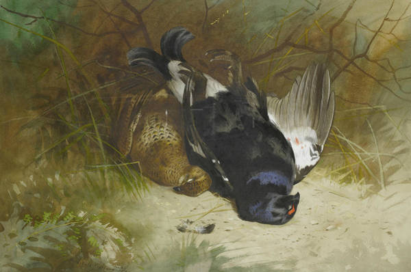 Painting - Still Life Of A Pair Of Blackgame by Archibald Thorburn