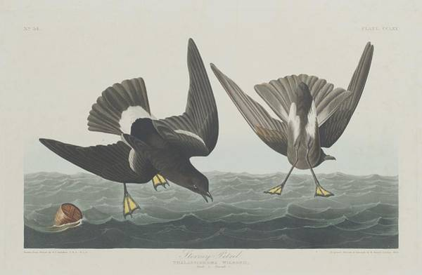 Stormy Drawing - Stormy Petrel by Dreyer Wildlife Print Collections