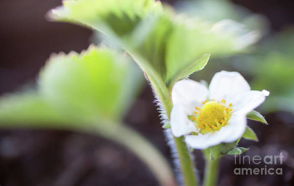 Wall Art - Photograph - Strawberry Flower by Kati Finell