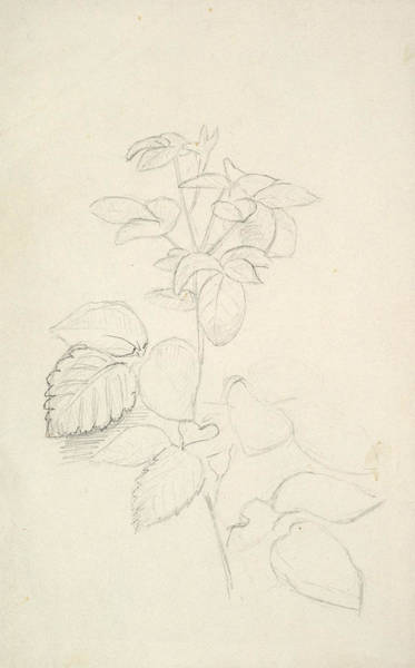 Wall Art - Drawing - Study Of A Plant by George Richmond