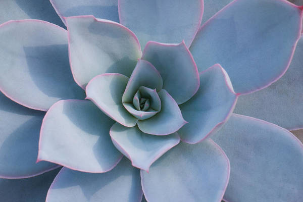 Wall Art - Photograph - Succulent Beauty by Catherine Lau