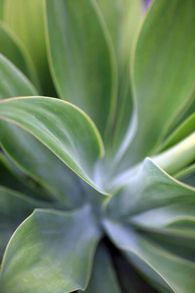 Succulent Photograph - Succulent Curves by Mike Reid
